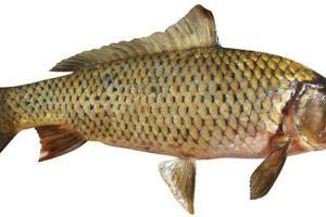 Αλιεία κυπρίνου