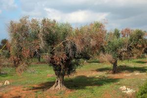 Ο Οργανισμός καραντίνας Xyllela fastidiosa σε ελαιόδενδρα