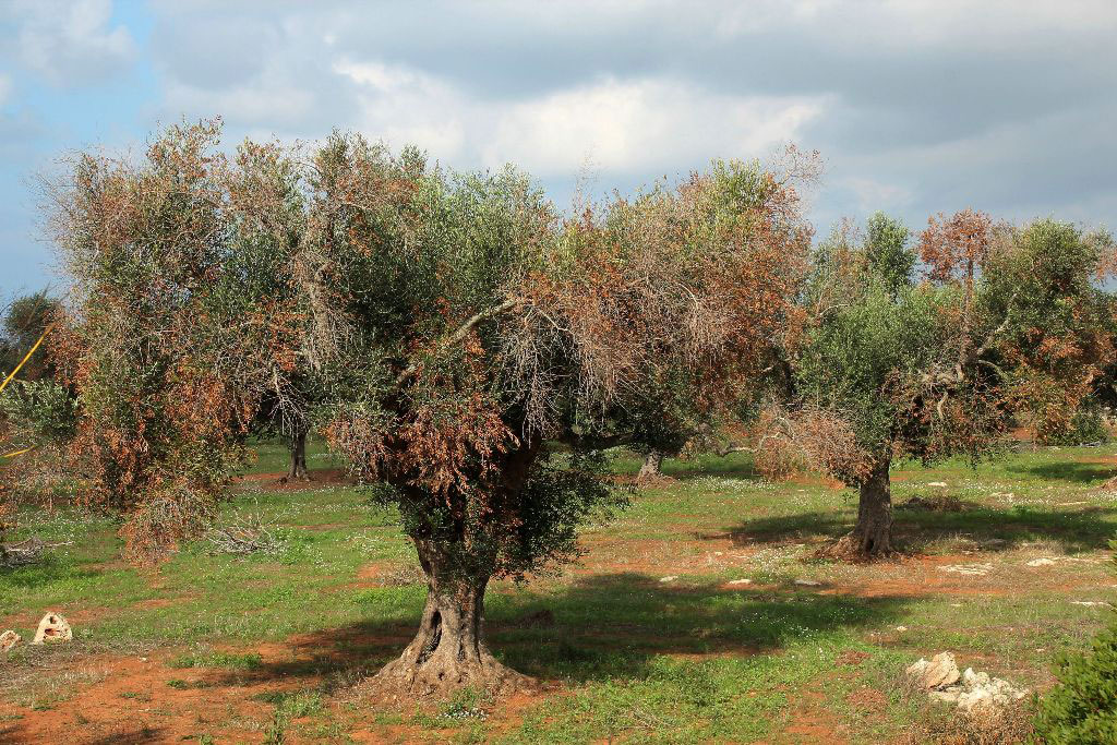 Xyllela fastidiosa σε ελαιόδενδρα