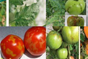 Tomato Brown Rugose Fruit Virus (Σχετικές εικόνες)