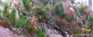 Fusarium circinatum